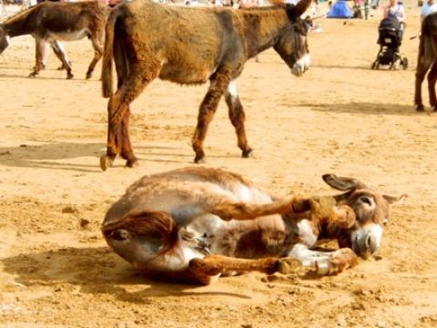 donkey lying in sand, two donkeys walking behind